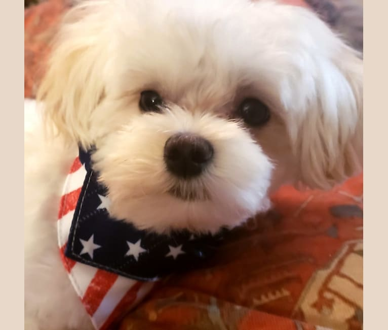 Photo of Nugget, a Maltese  in Shreveport, LA, USA