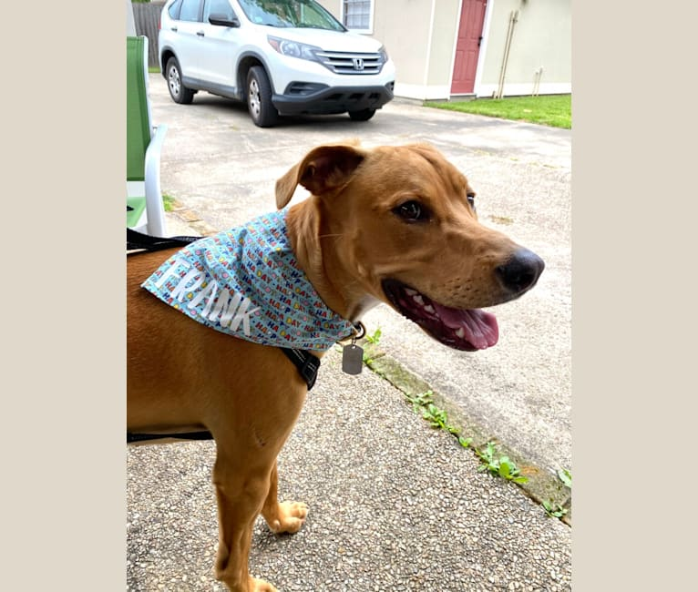 Photo of Frank, an American Pit Bull Terrier, Catahoula Leopard Dog, and Mixed mix in Prairieville, Louisiana, USA