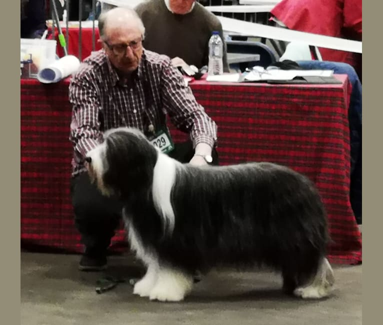 Photo of Braemoor's Fabulous Fennela at Winaria (Ellie), a Bearded Collie  in Netherlands