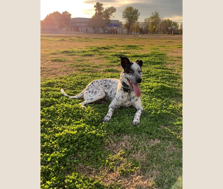 Photo of Indigo, an American Pit Bull Terrier, Australian Cattle Dog, Siberian Husky, and Mixed mix in Arizona, USA