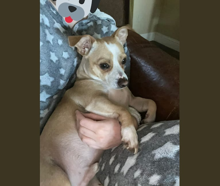 Photo of Toby, a Chihuahua, Boston Terrier, and Mixed mix in Fort Worth, Texas, USA