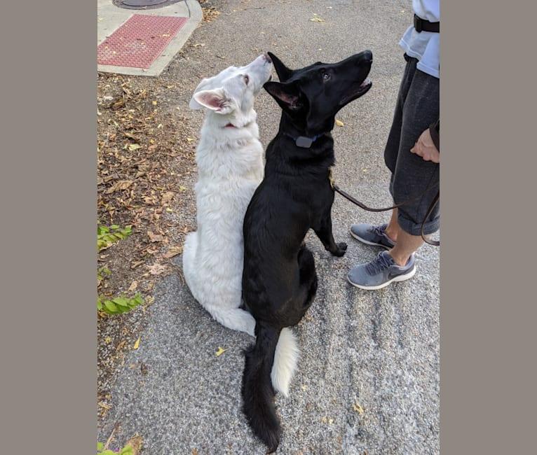 Photo of Lawine, a German Shepherd Dog  in Virginia, USA