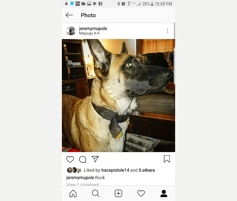 Photo of Rock, a Belgian Malinois and German Shepherd Dog mix in Tennessee, USA