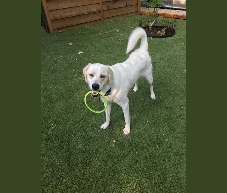 Photo of Braxton Austin, a Labrador Retriever, Great Pyrenees, and Staffordshire Terrier mix in Austin, Texas, USA