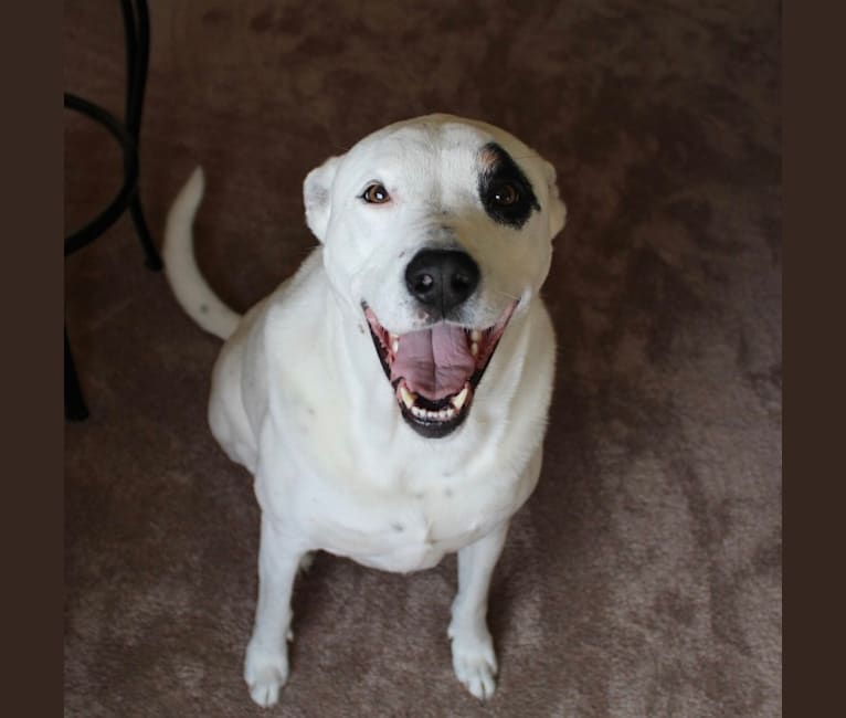 Photo of Petey, an Australian Cattle Dog, Staffordshire Terrier, Chow Chow, Dalmatian, and Mixed mix in Arizona, USA