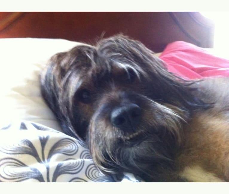 Photo of Fergus, a Rottweiler, Golden Retriever, Labrador Retriever, Australian Cattle Dog, and Mixed mix in Buckhannon, WV, USA