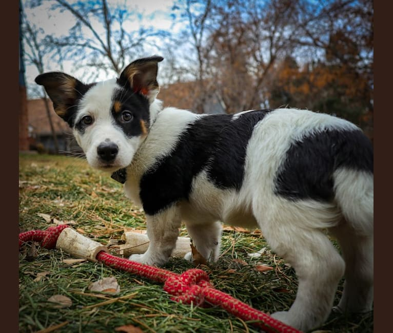 Photo of Jax, an Australian Cattle Dog and Mixed mix in Farmington, NM, USA