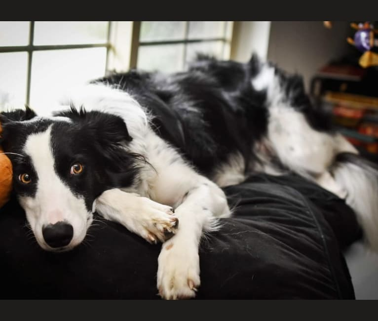 Photo of Felix Jager, a Border Collie and Australian Shepherd mix in Wisconsin, USA