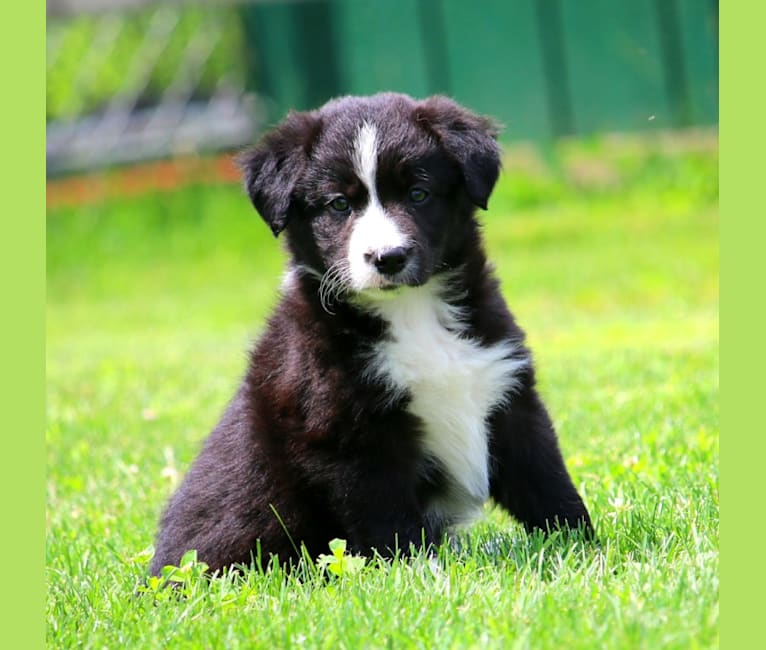 Photo of Nucky, a Border Collie and Miniature/MAS-type Australian Shepherd mix in Fritz C Frey Livestock Supply, Furniss Road, Drumore, PA, USA