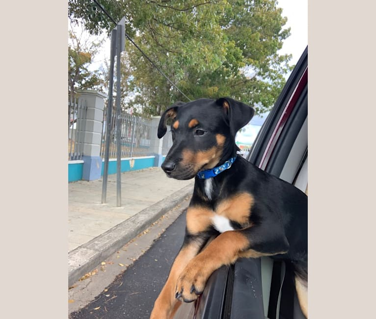 Photo of Avi, a Rottweiler, Chihuahua, Chow Chow, and Mixed mix in Puerto Rico