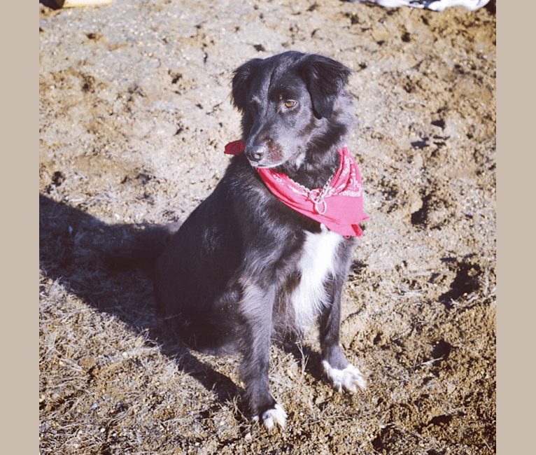 Photo of Scout, an American Pit Bull Terrier, Dachshund, Poodle (Small), Collie, Chow Chow, and Mixed mix in Bowling Green, Kentucky, USA