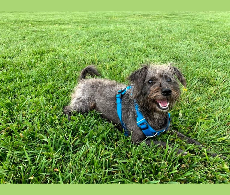 Photo of Benny, a Poodle (Small), Maltese, Chihuahua, and Mixed mix in Livermore, California, USA