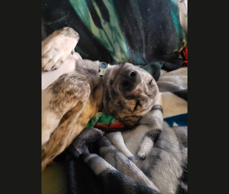Photo of Zohan, an Arabian Village Dog  in Riyadh, Riyadh Province, Saudi Arabia