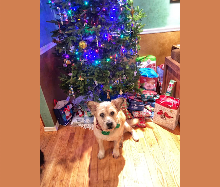 Photo of Jake, a Chow Chow, German Shepherd Dog, Boston Terrier, and Mixed mix in Hartsville, SC, USA