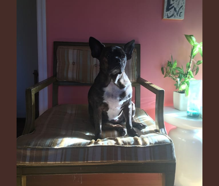 Photo of Marvin, a Boston Terrier and Dachshund mix in Tennessee, USA