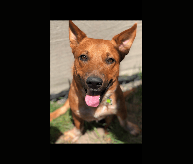 Photo of Kit, an Australian Cattle Dog, American Pit Bull Terrier, and Siberian Husky mix in Houston, TX, USA
