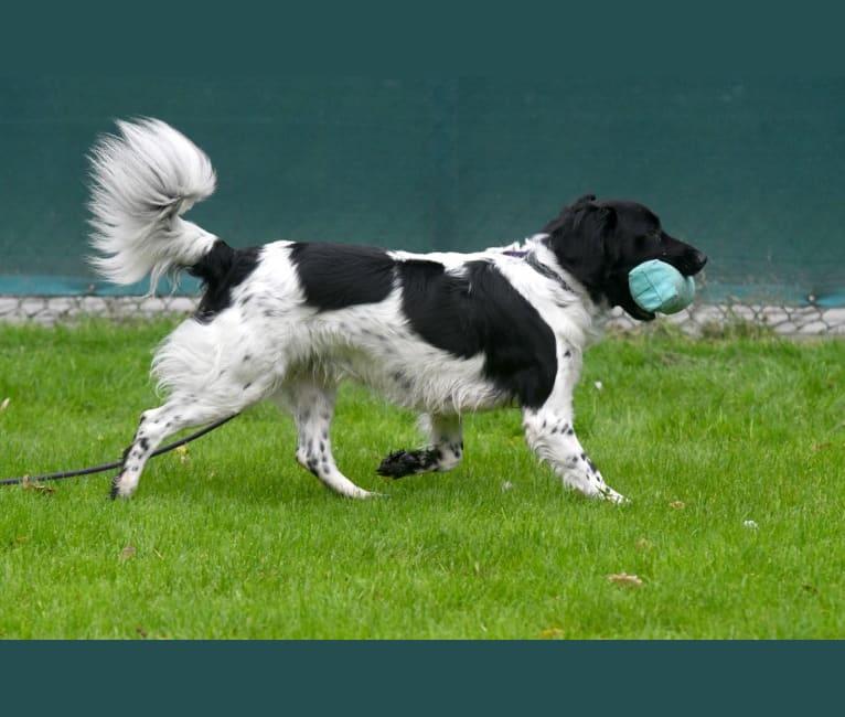 Photo of Flicka, a Stabyhoun  in Schoonhoven, Holland