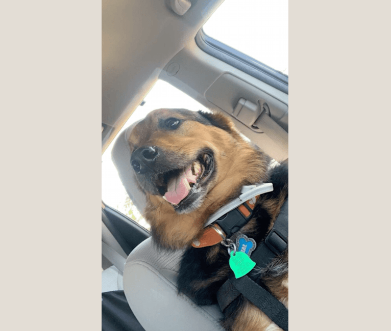 Photo of Jake, a German Shepherd Dog, American Pit Bull Terrier, Labrador Retriever, Boykin Spaniel, and Mixed mix in Greenwood, South Carolina, USA