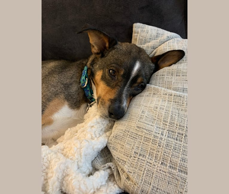 Photo of Ollie, an American Pit Bull Terrier, Miniature Pinscher, Beagle, and Mixed mix in Tennessee, USA