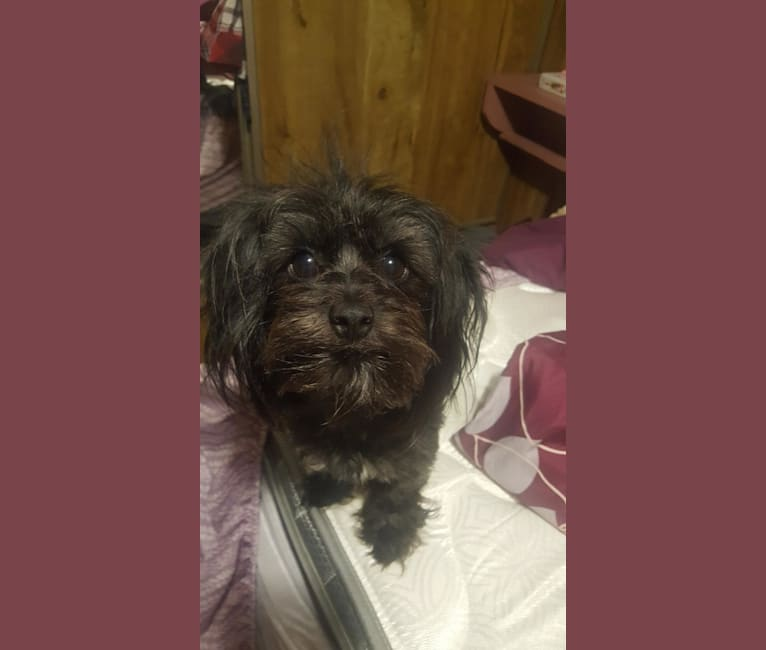 Photo of Athena, a Chihuahua, Dachshund, Shih Tzu, and Mixed mix in Weslaco, TX, USA