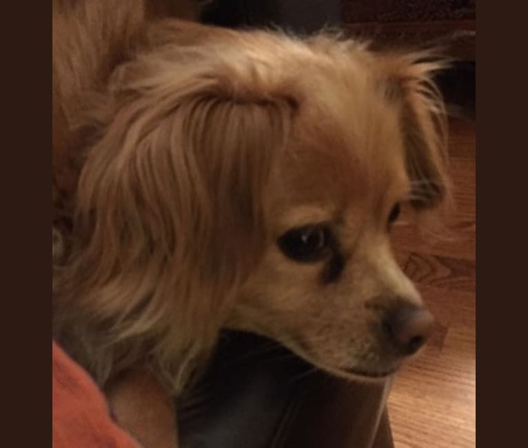 Photo of Henry, a Chihuahua, Cocker Spaniel, Yorkshire Terrier, and Mixed mix in California, USA