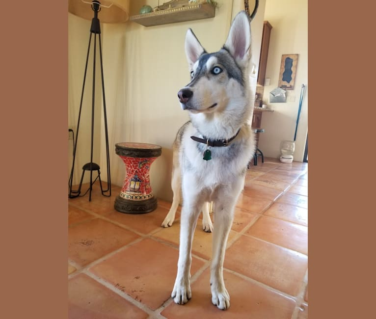 Photo of Loki, a   in Clarkdale, AZ, USA