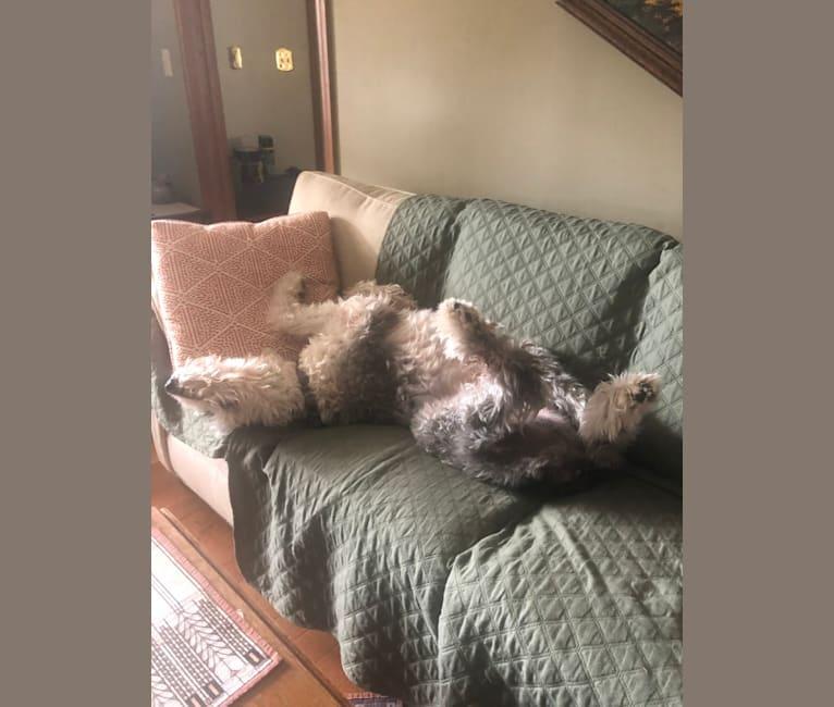 Photo of Harri, an Old English Sheepdog  in Kentucky, USA