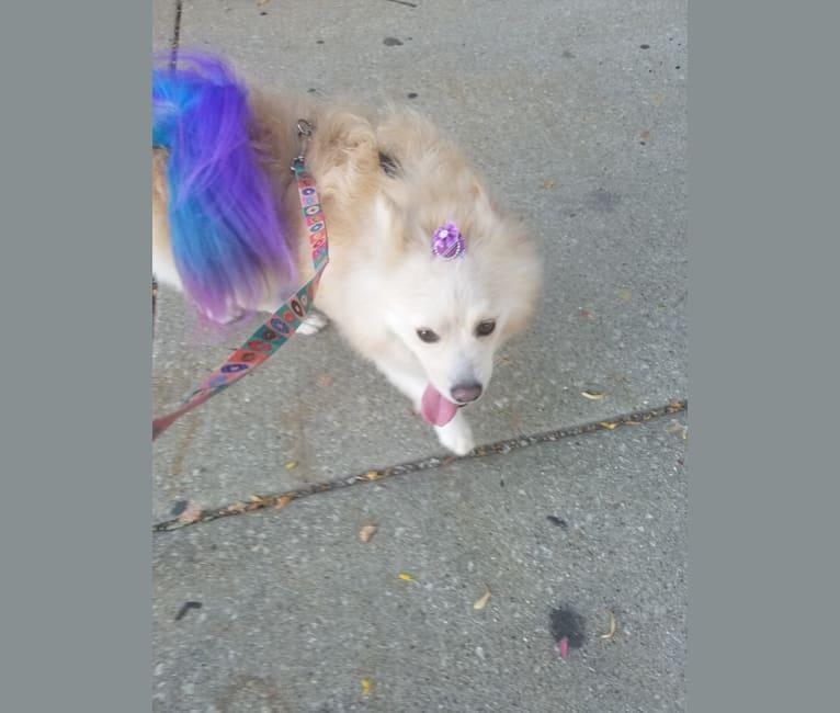 Photo of Yuki, a Pomeranian  in Chicago, Illinois, USA