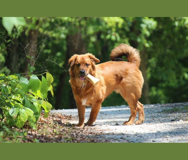 Photo of Rebus, a Bulldog, American Eskimo Dog, Beagle, Chow Chow, and Mixed mix in Dawsonville, Georgia, USA