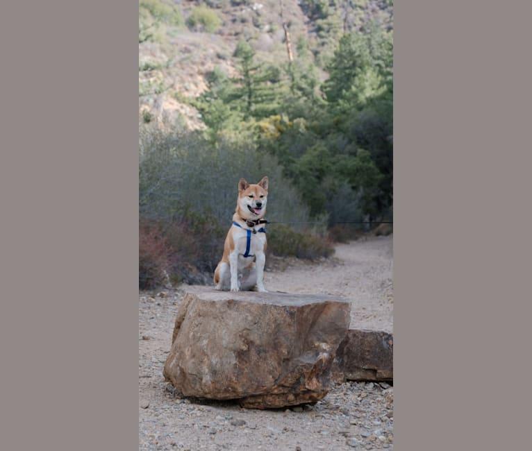 Photo of Auggie, a Shiba Inu