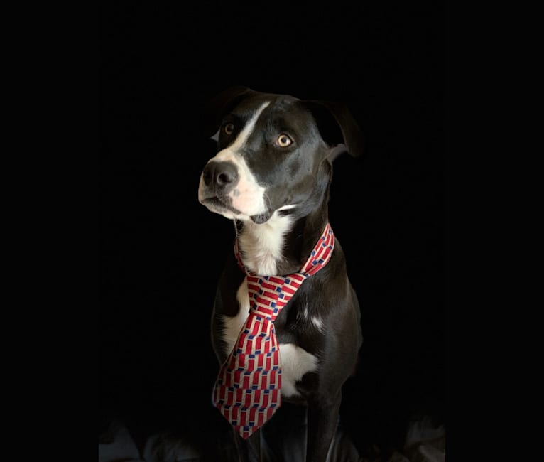 Photo of Sam, an American Pit Bull Terrier, Rottweiler, German Shepherd Dog, and Mixed mix in Atlantic Beach, Florida, USA