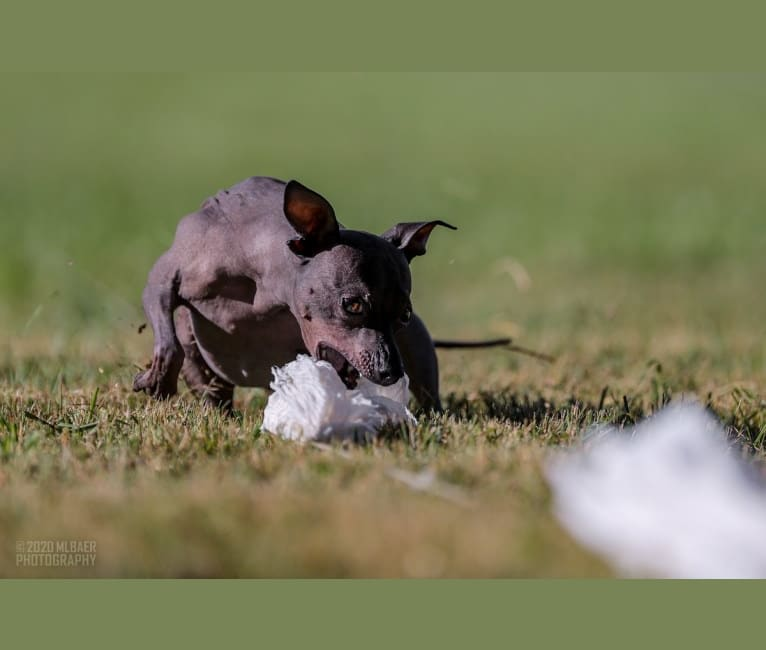 Photo of Lucy, an American Hairless Terrier  in Idaho, USA