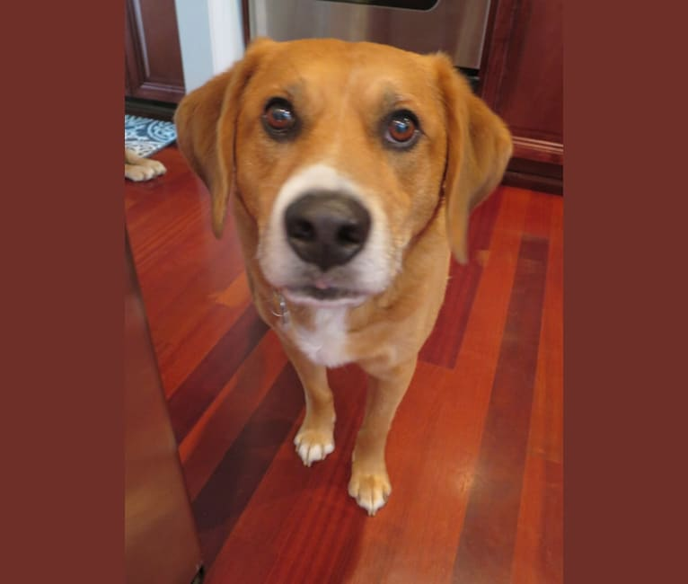 Photo of Duke, a Beagle, Llewellin Setter, Chow Chow, and Boxer mix in St. Charles, Illinois, USA