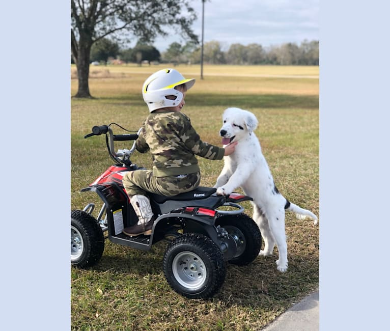 Photo of Dolly, a Great Pyrenees, American Pit Bull Terrier, Australian Shepherd, Labrador Retriever, and Mixed mix in Buna, Texas, USA