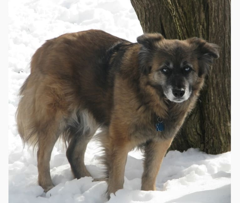 Photo of Bear, a Chow Chow, Rat Terrier, Siberian Husky, German Shepherd Dog, and Labrador Retriever mix in North Carolina, USA