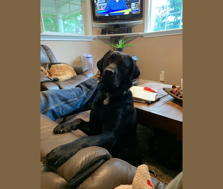 Photo of Cash, a Labrador Retriever  in Newberg, Oregon, USA