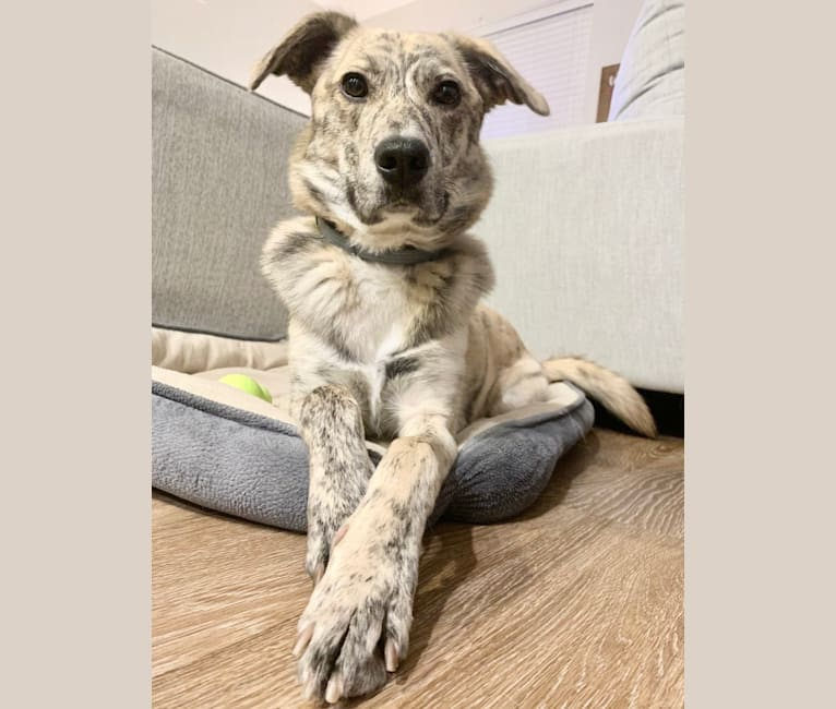 Photo of Callie, a Border Collie, Mountain Cur, Great Pyrenees, Australian Shepherd, and Mixed mix in Tennessee, USA