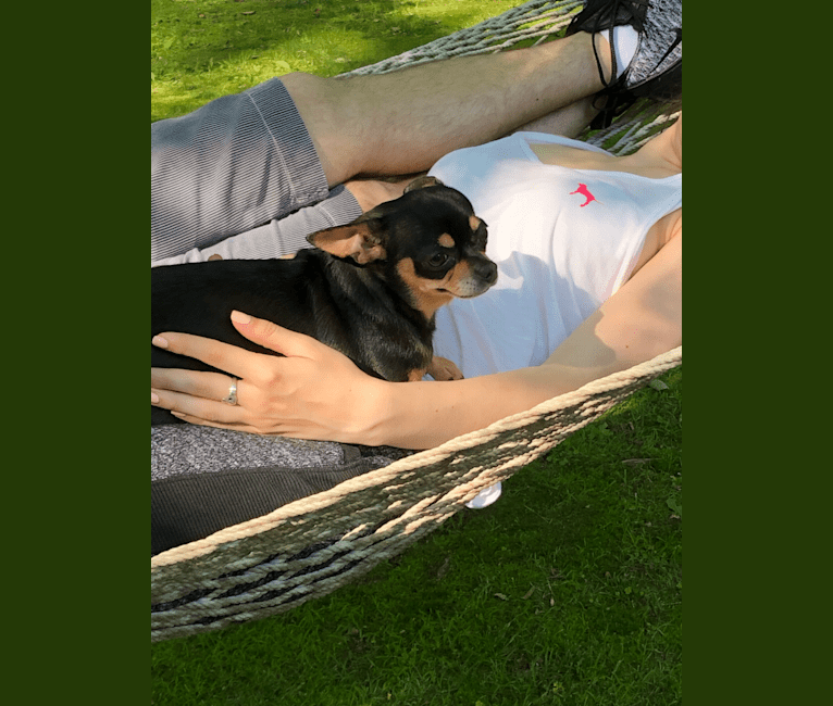 Photo of Coco, a Chihuahua  in Sutton, Massachusetts, USA