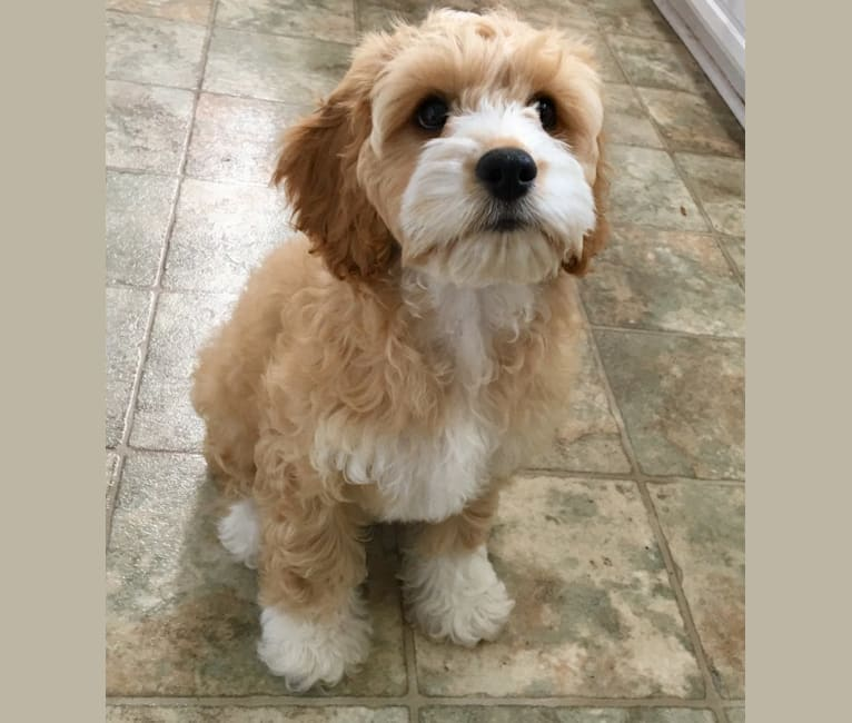 Photo of Clementine, a Cockapoo  in Holton, Indiana, USA