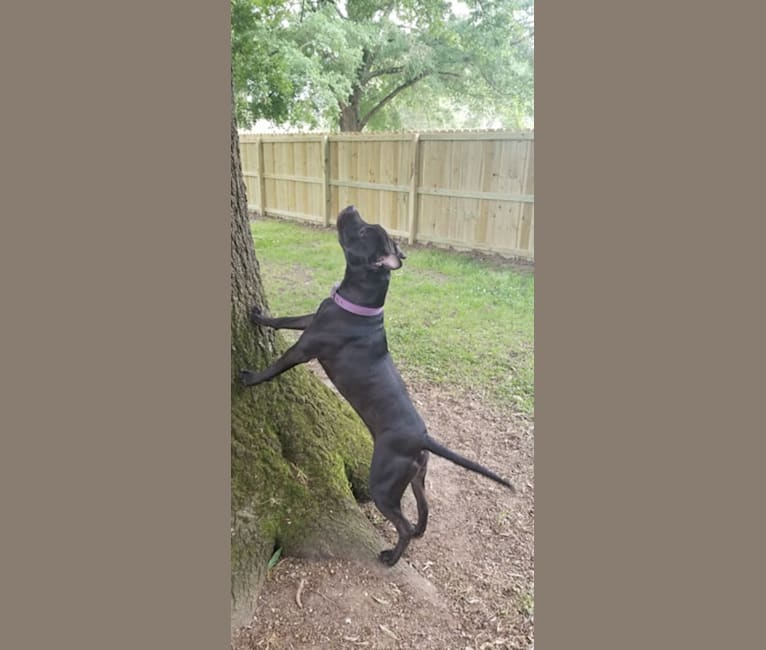 Photo of Daisy, an American Staffordshire Terrier  in England, Arkansas, USA