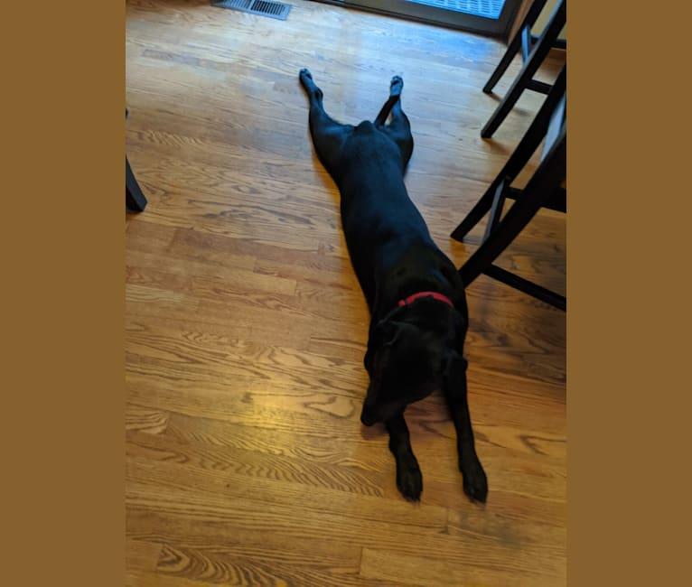 Photo of Maximus Love Huggins, a Labrador Retriever and American Staffordshire Terrier mix in Tacoma, WA, USA