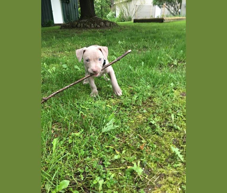 Photo of Mira, an American Pit Bull Terrier, American Bulldog, and American Staffordshire Terrier mix in Elkton, Michigan, USA