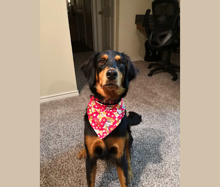 Photo of Grace, a Doberman Pinscher and Rottweiler mix in Waco, Texas, USA