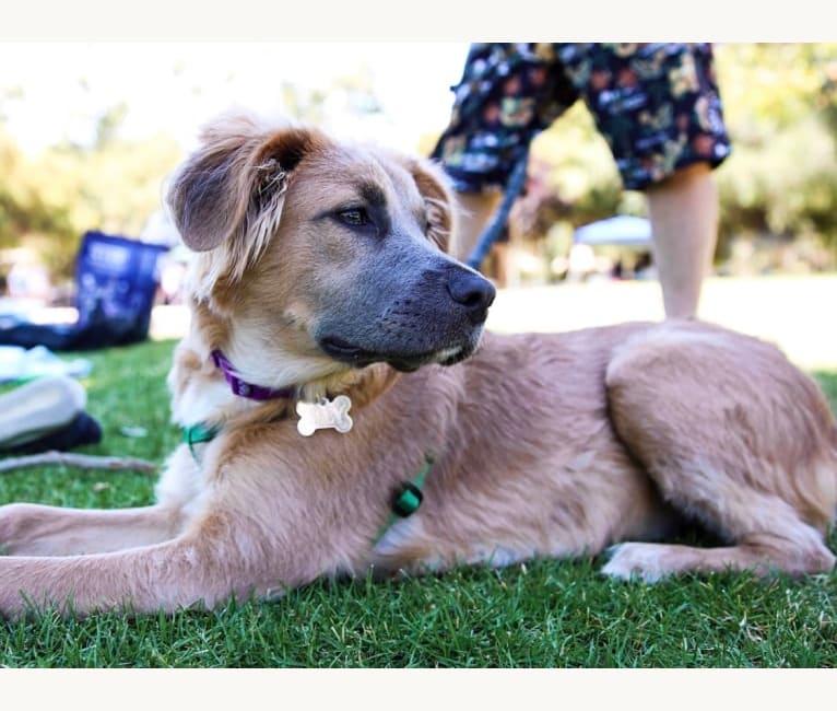 Photo of Isley, a German Shepherd Dog, American Pit Bull Terrier, Saint Bernard, and Mixed mix in Tijuana, Baja California, Mexico