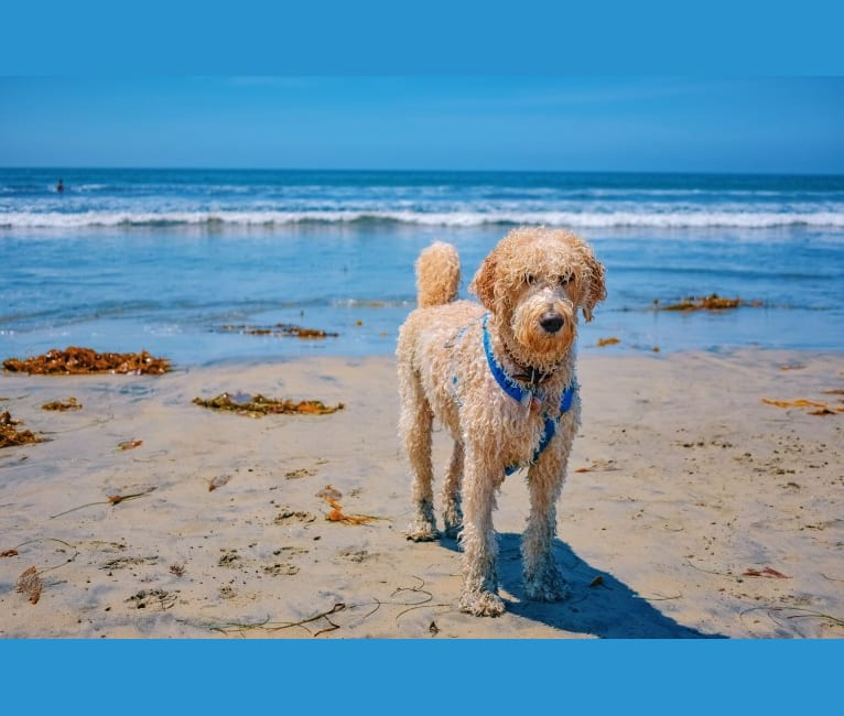 Photo of Laika, a Poodle (Standard) mix in San Diego, California, USA
