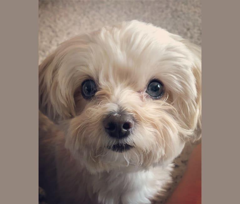 Photo of Sherman, a Maltipoo  in Richmond Hill, GA, USA