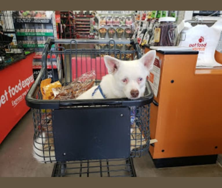 Photo of Walter White, a Pomeranian, Chihuahua, American Eskimo Dog, Poodle (Small), and Mixed mix in SF, California, USA