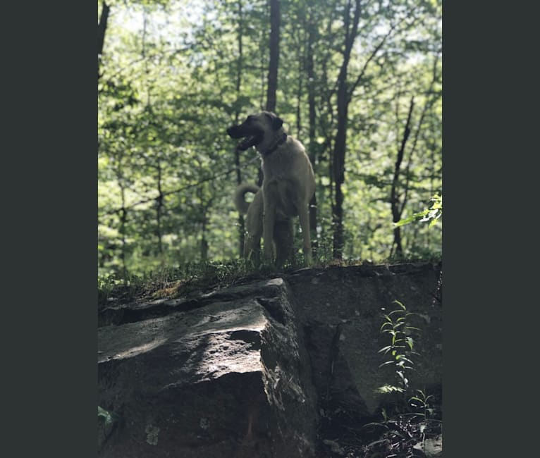 Photo of Barney, an Anatolian Shepherd Dog and Great Pyrenees mix in Tennessee, USA