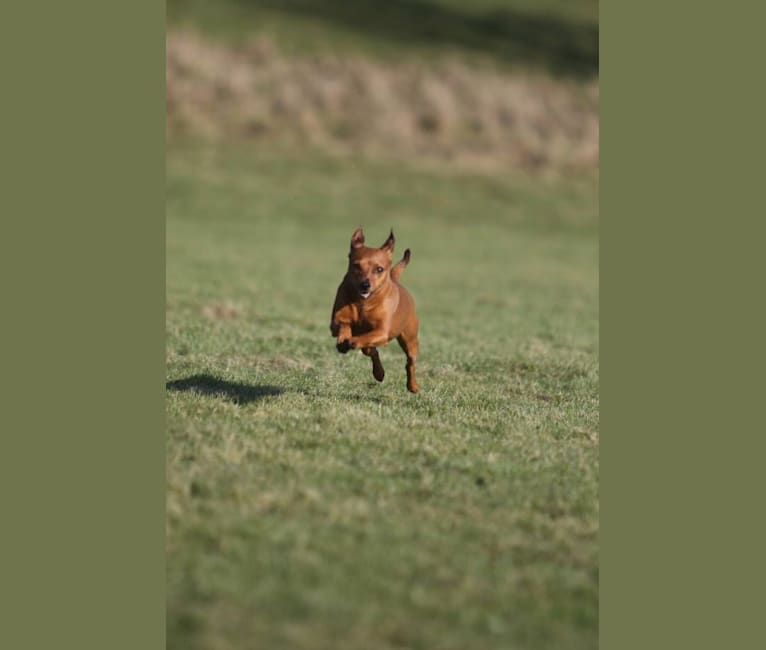 Photo of Grace, a Miniature Pinscher  in Lund, スウェーデン