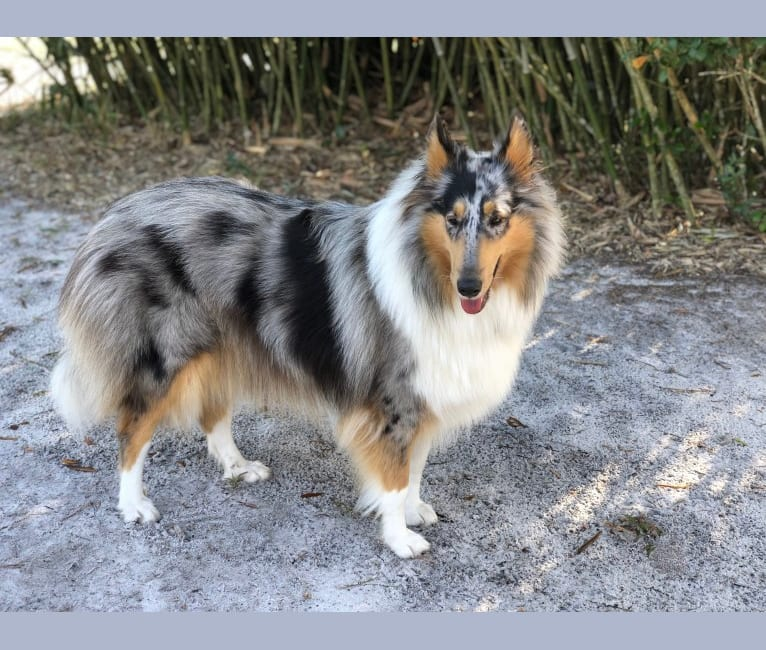 Photo of Kuma, a Collie  in Plato, MN, USA